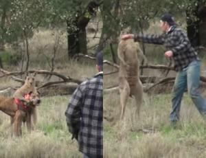 Uderzył kangura, żeby ratować psa! Zobaczcie minę zwierzaka!